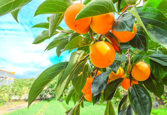 果物の木のオーナーになれる!? 魅力的な農業体験