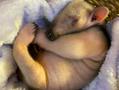 かわいすぎると大人気♡ミナミコアリクイの赤ちゃん