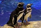 """面白すぎる…!""""連日浮気も!?""""ペンギン界のドロドロ恋模様がわかる相関図"""