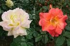 【今週の対決】鳩山会館、旧古河庭園…「バラ園」の魅力