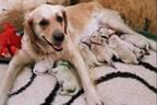 ゴールデン・レトリバーが緑色の仔犬を出産