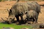 サイの密猟者、ゾウに殺されライオンの群れのエサになる