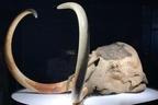 4万年前の死体が生々しい!お台場で「冷凍マンモス」に会える