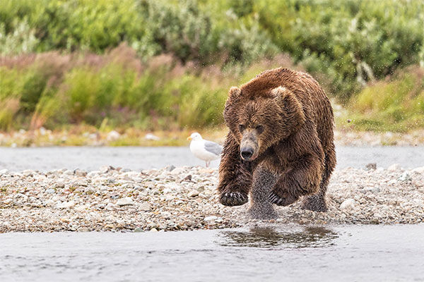 俊敏な動きで狩りをするハイイログマ( 写真:Solent News/アフロ)