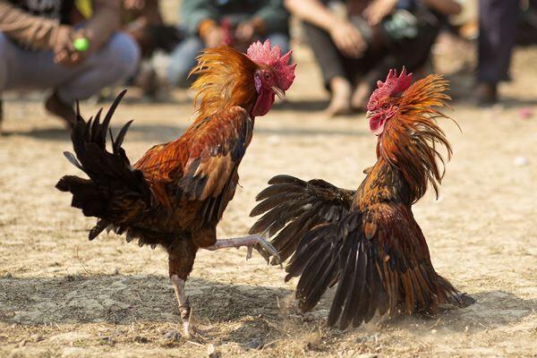 先週末開催されたインドのジョンビールフェスティバルでも闘鶏が行われた(写真:AP/アフロ)