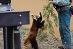 高齢化迎える動物園 レッサーパンダ風太くんは人間なら80代