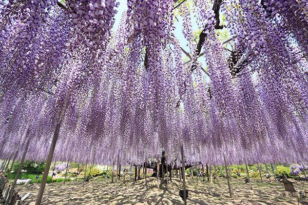 栃木県・あしかがフラワーパーク「樹齢約150年の大藤」