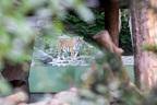 女性飼育員がトラに襲われて死亡、見物客の眼前で起きた悲劇