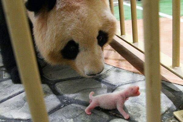 和歌山「アドベンチャーワールド」ジャイアントパンダの良浜(らうひん)が11月22日に、2年ぶり7度目の出産!
