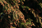 """スギとヒノキは昨年の1.8倍…花粉の""""飛散量増""""に警戒を"""