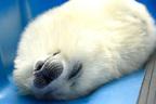 可愛すぎる♪大阪・海遊館のアザラシが「あげたて」大バズ中
