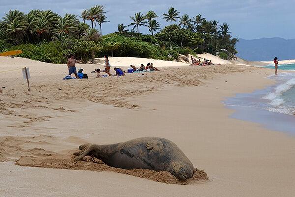 オアフ島のビーチでくつろぐハワイモンクアザラシ(写真:AP/アフロ)