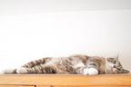 """『ドッキリGP』の""""猫に大トロ""""企画が「お腹壊す」と物議…獣医もリスクを指摘"""