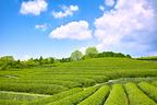 """桜前線の次は""""新茶前線"""" が北上中! 美味しい「緑茶」の楽しみ方"""