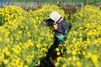 栄養豊富! いま注目のアンチエイジング食材「菊花」の楽しみ方