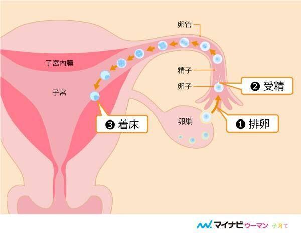 【医師監修】着床する期間はいつ? 妊娠のしくみと着床で見られる症状とは
