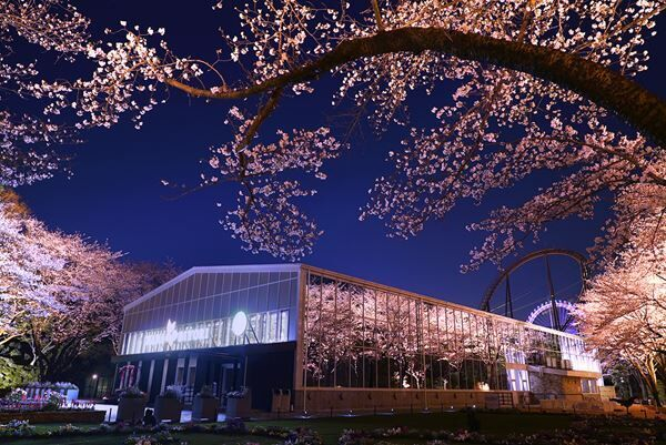 """HANA・BIYORIでは夜間ライトアップ""""夜桜びより""""を開催中"""