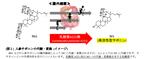 オタネニンジン発酵物の血糖上昇抑制に新知見