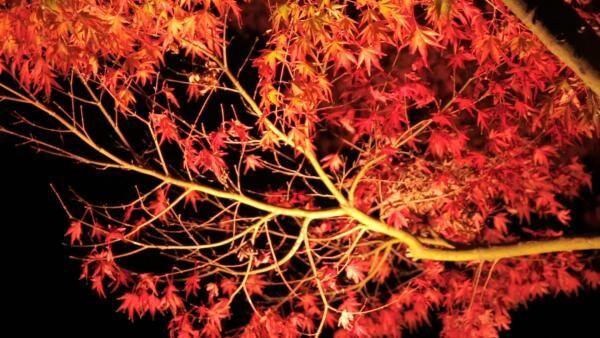 秋の味覚とグルメを満喫! 「はとバスツアー 河口湖もみじ回廊ライトアップと松茸御膳&ぶどう狩り」