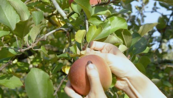 はとバスツアー  りんご狩りVol.4 〜甘い香りに包まれて、姫ヶ滝りんご園でりんご食べ放題! 〜