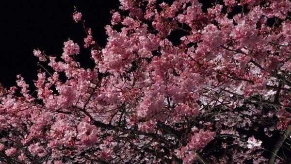 圧巻!4kmの桜並木「河津桜まつり」で一足早いお花見を♡
