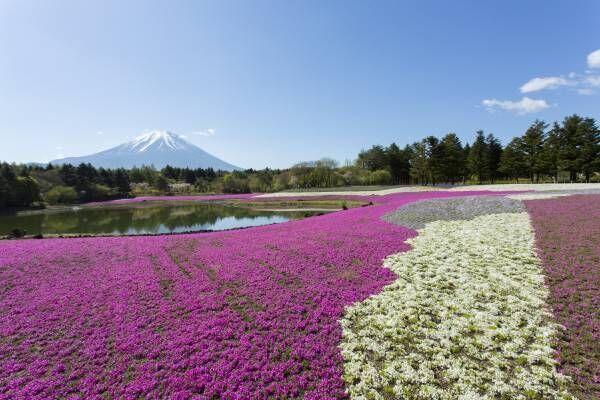 80万株の芝桜が咲き誇る 春の風物詩イベント