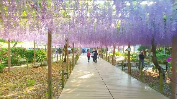 幻想的な美しさ。藤色のカーテンに包まれる大人のお花見