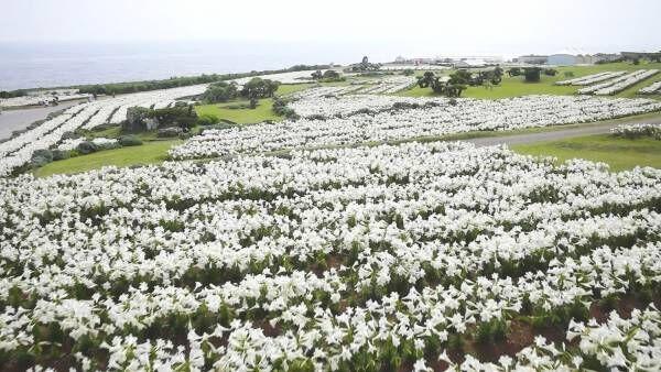 一面を覆う純白の景色。空とのコントラストが美しいゆり祭り