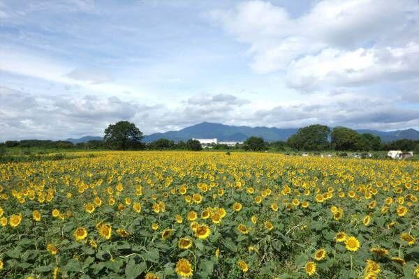 55万本が咲き誇る「ひまわりまつり」が神奈川県・座間市にて開催!