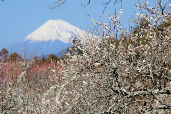 咲き誇る梅の絨毯は圧巻!この春は文豪も愛した静岡県・伊豆市にお出かけ