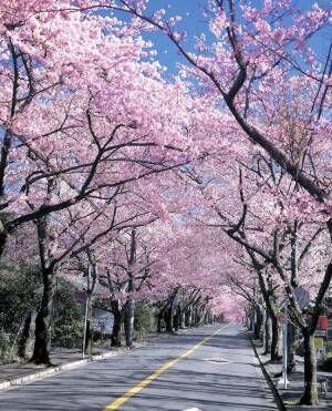 さくらの名所100選に認定!春を満喫できる静岡県伊東市へおでかけ