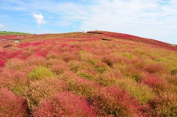 茨城・国営ひたち海浜公園、秋の絶景「コキア」約3万2千本が真っ赤に染まる秋の紅葉!