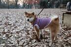 【ダイソー】犬用ファッショングッズを見つけた!柴犬さくらの冬のおでかけコーデ