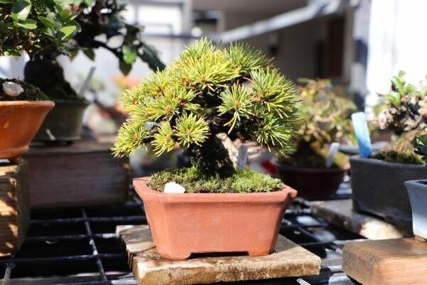 ちょこんとかわいい!盆栽は、今から始めた方が良いって知ってました?