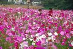 【関東】約100万本のコスモスが咲き乱れる!《くりはま花の国》の「コスモスまつり」