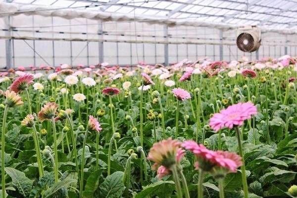 [青山フラワーマーケット] 花を産地からお客様のご自宅へ直送するサービスを開始