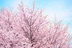 【桜切る馬鹿梅切らぬ馬鹿】桜の枝は折っちゃいけないその理由