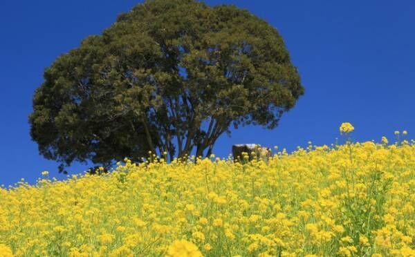 【まもなく見頃】インスタ映え確実!菜の花が一面に広がる全国の公園・名所14選