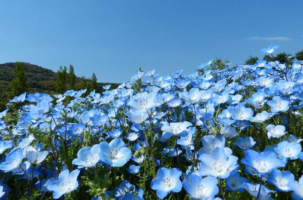 【見ごろを整理】青一面!日本全国ネモフィラが美しいスポット17選