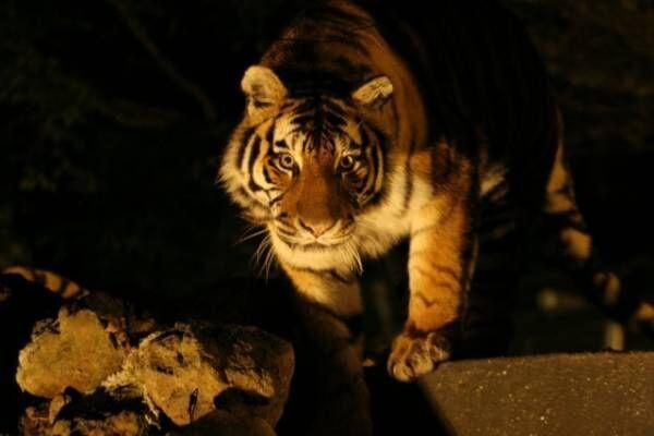 8月22日放送、NHK総合『ZOOっと見ナイト~生中継!夜の動物園~』迫力ある夜のトラの姿は見られるのか、イチかバチかの生中継(C)NHK