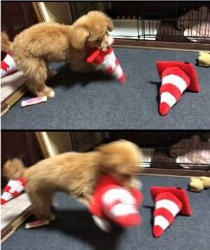 三角コーンのおもちゃが嬉しすぎて、荒ぶるきなこちゃん (画像提供:やしろあずきさん @yashi09)