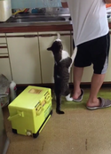 【おもしろパパ動画】おねだりする猫を無視し続けた結果、飼い主に悲劇が…