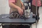 【かわいいネコ画像】爪切りに連れ行かれて不服なネコの目つきが怖すぎる