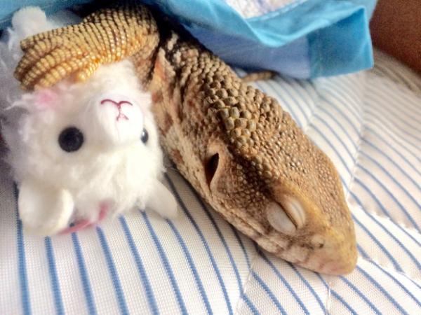 【かわいいトカゲ画像】ぬいぐるみを抱いて添い寝するトカゲのうっとりした表情