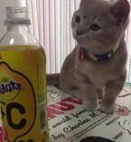 【かわいいネコ動画】ファンタの匂いをかいだ猫のリアクションが面白い