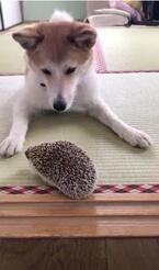 【かわいいイヌ&ハリネズミ動画】ハリネズミにビビリながらも遊ぼうとする犬が可愛い