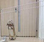 【びっくりウサギ動画】自分の3倍近くもある柵を飛び越えるウサギが凄い