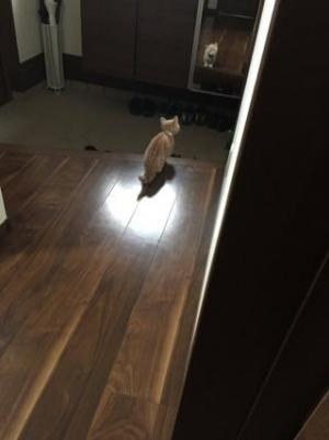 【かわいいネコ画像】鏡に映る自分を威嚇するマンチカンが可愛い