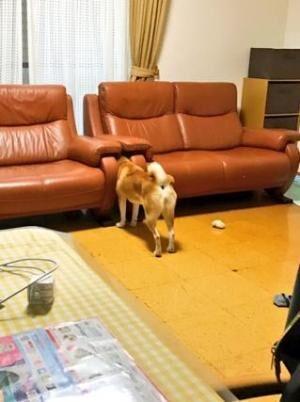 【かわいいイヌ画像】ソファの間に顔が挟まった柴犬が可愛すぎる