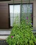 食べる楽しみも! グリーンカーテン作りにおすすめの植物4選